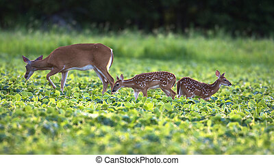 Whitetailed deer fawn - Whitetail deer doe and fawn in a...