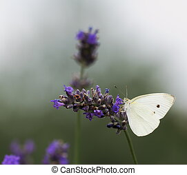 Lavender flowers and White butterfly - Lavender flowers with...