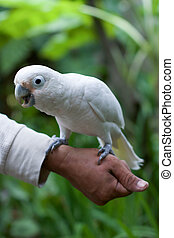 Cockatoo bird standing on people arm  and tree background