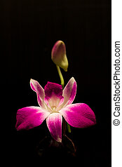 Orchid Flower - Thai Purplr Orchids flower on Black...