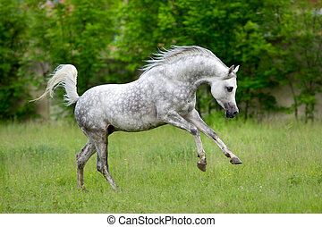 Arabian horse runs gallop on green background