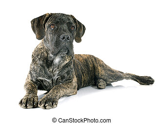 puppy cane corso in front of white background