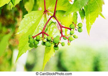 Virginia creeper Parthenocissus quinquefolia with green...