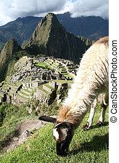 Lama Grazing Above Machu Picchu - A lama grazing above Machu...