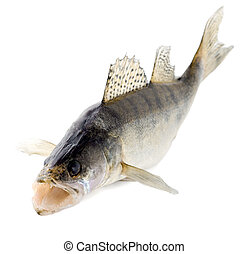 fish walleye close-up isolated on white background