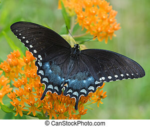 Black Swallowtail Perched on a Orange Butterfly Plant