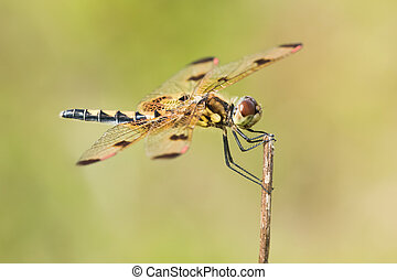Calico Pennant Dragonfly Perched on a Branch
