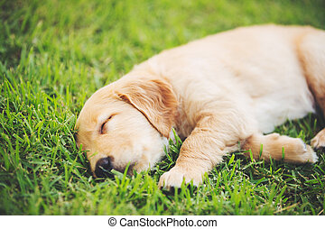 Golden Retriever Puppy - Adorable Golden Retriever Puppy...