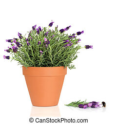 Lavender Herb Flowers and Bumble Bee - Lavender herb plant...