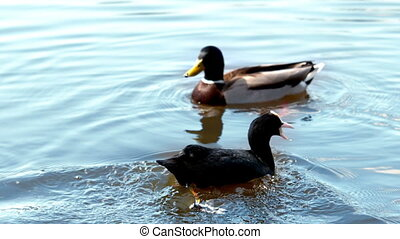 Two ducks swimming in a lake in slow motion