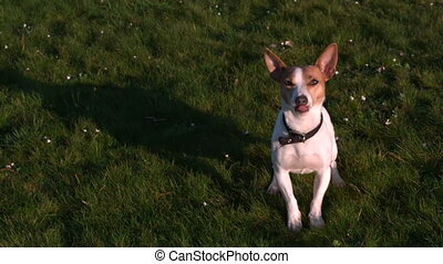 Cute terrier wagging his tail looking up at camera in slow...