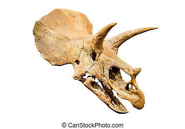 Dinosaur skeleton. Triceratops Fossil skull over white...