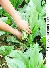 woman hands picking green lettuce