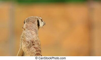 Meerkat - Meerkat looking out for danger and ready to signal...