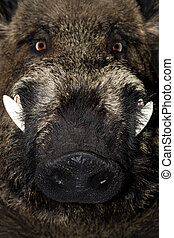 wild boar - Head of a wild boar , close up