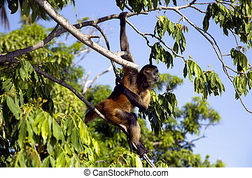 Spider Monkeys of the genus Ateles - Lake Nicaragua some 350...