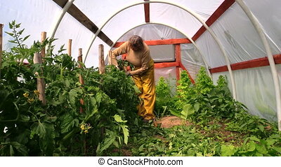 woman bind tomato bush - countrywoman bind high tomato...