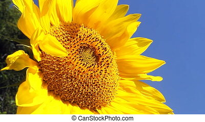 Sunflowers - Flowering Sunflowers