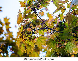 Green maple branches with young pink fruit called samaras