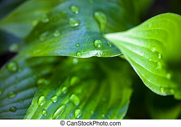 Green leaves of hosta with dew drops