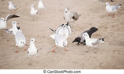 Gulls and crows on beach - On yellow sand beach flock of...