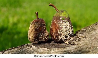 Two rotten and moldy pears on a green background