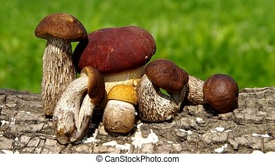 Boletus mushroom on green background