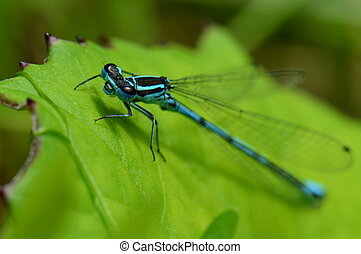 Common blue damselfly 2 - Macro photo : Common blue...