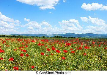 Field with red poppies - Field with green grass, yellow...