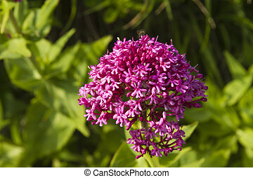 Centranthus ruber, red valerian, flower. Macro. - Close up...