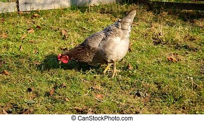 Chicken graze on green grass