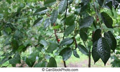 its raining on the cherry-trees leaves
