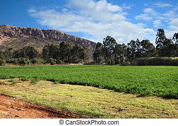 alfalfa, o, Alfalfa, campo, debajo, irrigación
