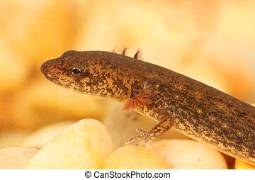 Northern Dusky Salamander Desmognathus fuscus - Larval stage...