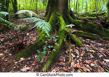 Mossy roots of giant tree and fern tropic