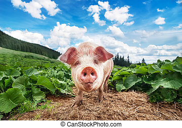 Cute pig grazing at summer meadow at mountains pasturage...