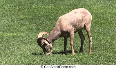 Desert Bighorn Ram - a young desert bighorn sheep ram...