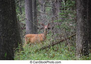 Deer in Cyprus Hills