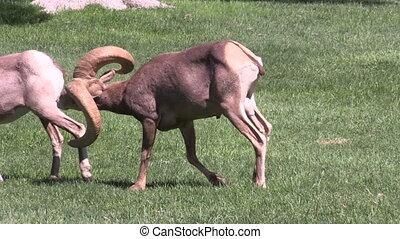 Rutting Desert Bighorns - a desert bighorn sheep ram chases...