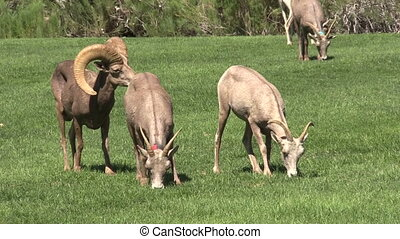Desert Bighorns in Rut - a desert bighorn ram and ewes in...