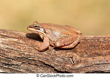 Wood Frog Rana sylvatica on a log with a green background