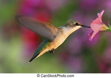 Ruby-throated Hummingbird - Female Ruby-throated Hummingbird...