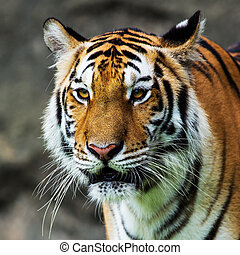 Tiger, portrait of a bengal tiger