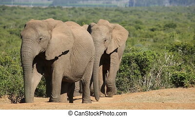 African elephant herd - Small herd of African elephants...