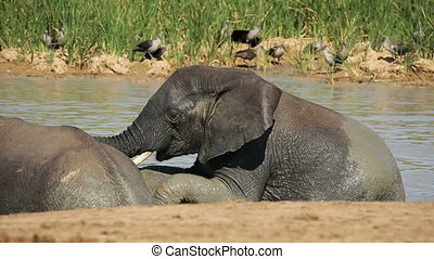 African elephants in water - African elephants (Loxodonta...
