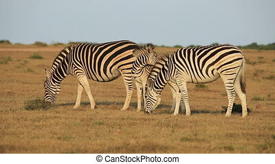 Plains Zebras grazing - Plains (Burchells) Zebras (Equus...