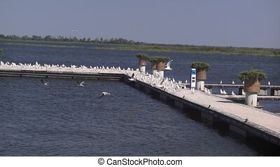 Seagulls on a pontoon - Seagull flies over the river with a...