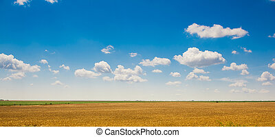 Wheat field under cloudy sky. Yellow field under beautiful...