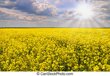 Field of rapeseed with blue sky - Field of rapeseed with...