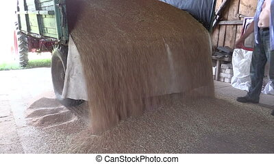 grain trailer farm room - grain coming out of the trailer in...